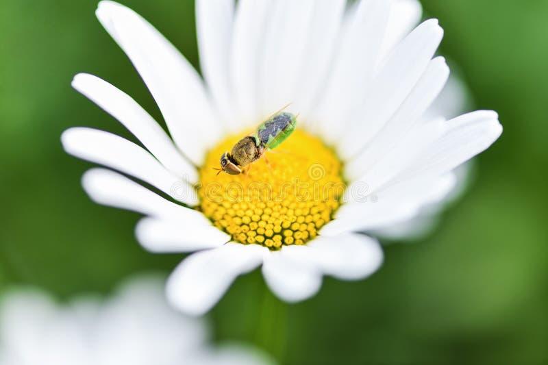 Pszczo?a, pszczelarka siedzi na kwiatu chamomile i zbiera pollen obraz royalty free