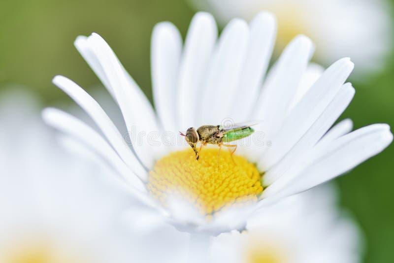 Pszczo?a, pszczelarka siedzi na kwiatu chamomile i zbiera pollen zdjęcie royalty free