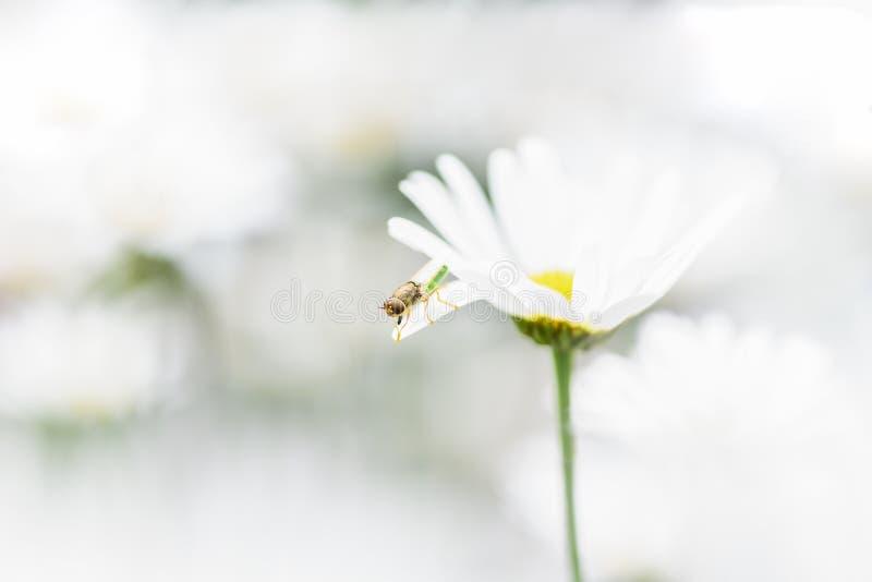Pszczo?a, pszczelarka siedzi na kwiatu chamomile i zbiera pollen obrazy royalty free