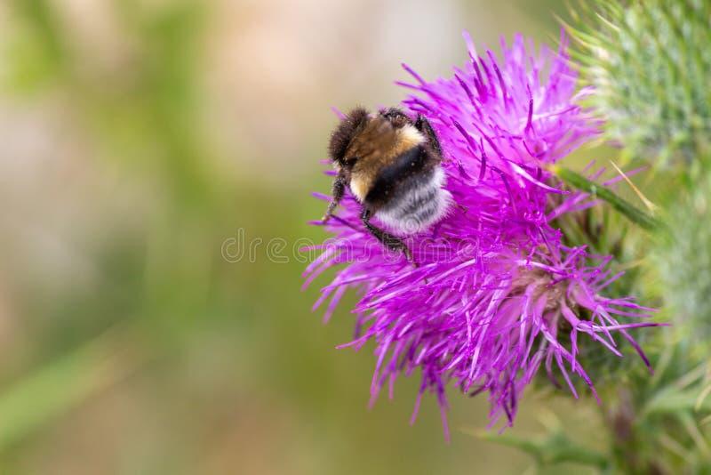 Pszczo?a obraz stock