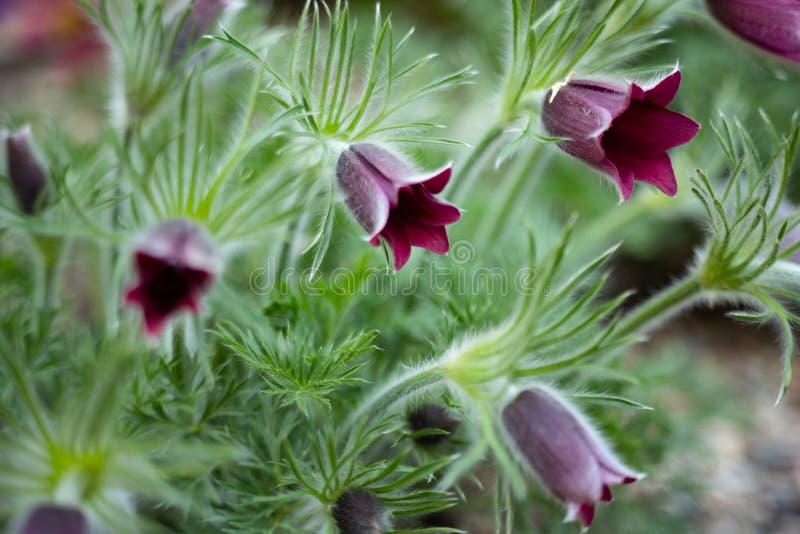 Pszczo?a siedzi na anemonowym kwiacie w pogodnej wio?nie lasowy Pasque lub anemon r dzikiego i sw?j kwitnienie jest jeden pierwsz zdjęcia stock
