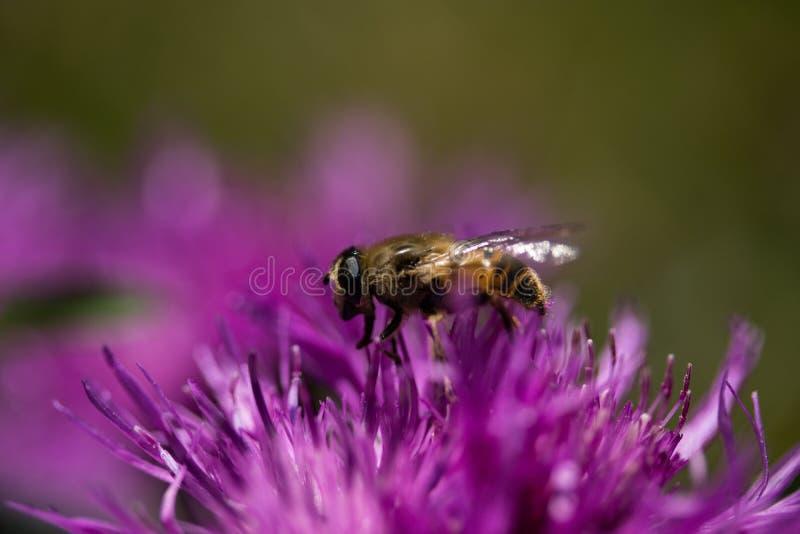 Pszczo?a fotografia stock
