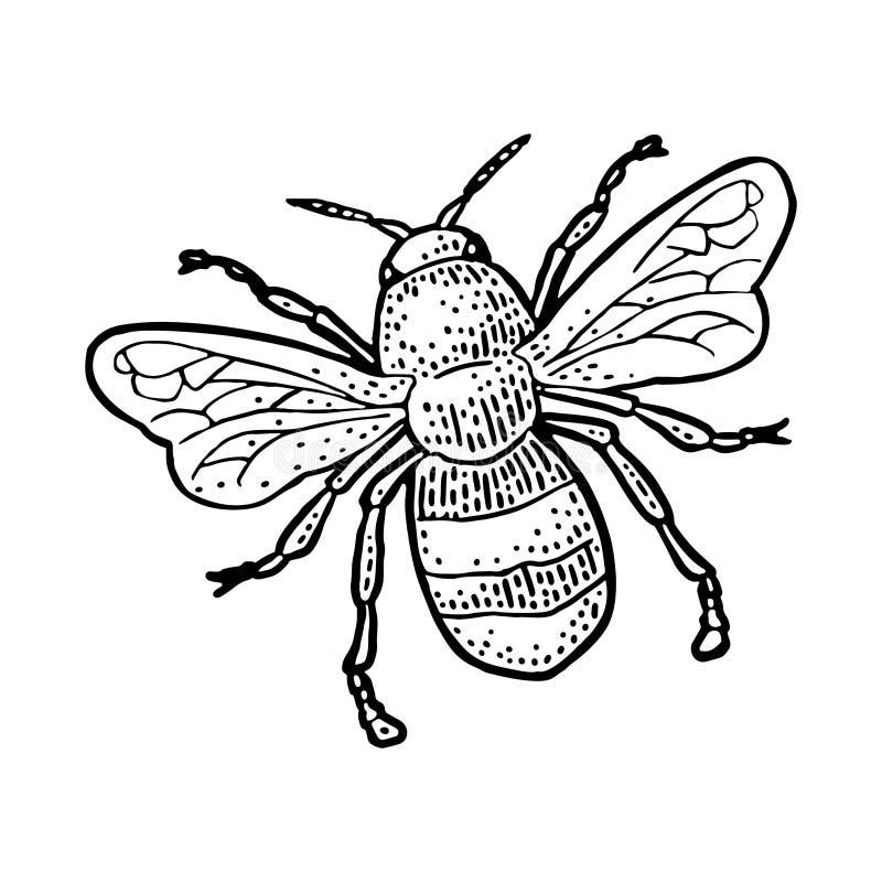 pszczo?y latanie Odosobniona wektorowa ilustracja na bia?ym tle pszczo?a wyszczeg?lniaj?cy mi?d odizolowywaj?cy macro brogowa? ba ilustracja wektor