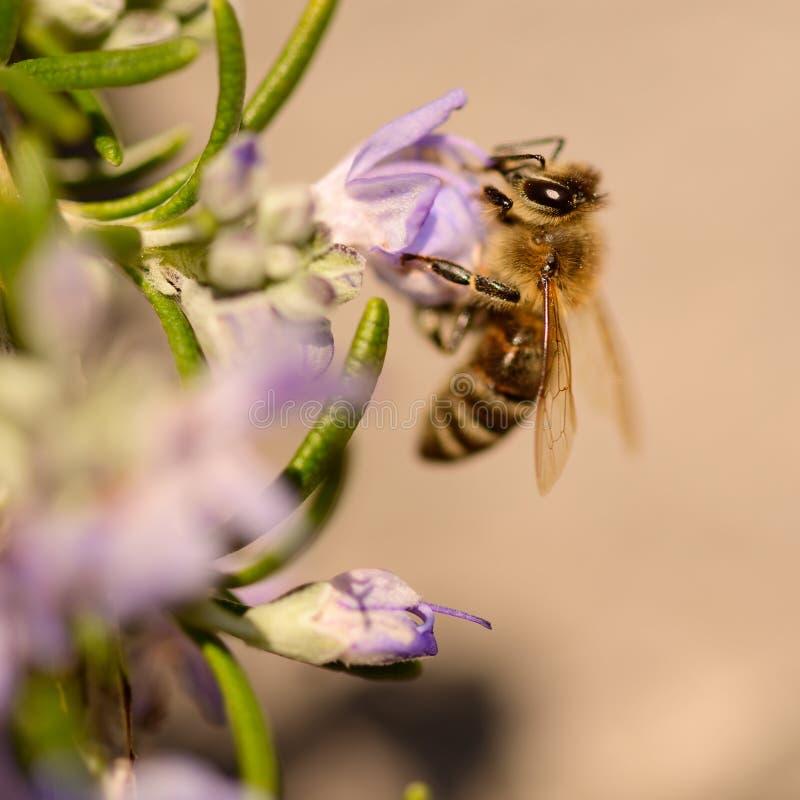 Pszczo?y, miodowa pszczo?a ssa nektar i polinating na rozmarynach, Rosmarin kwiat, Rosmarinus officinalis z sw?j pi?knym bzem, zdjęcia royalty free