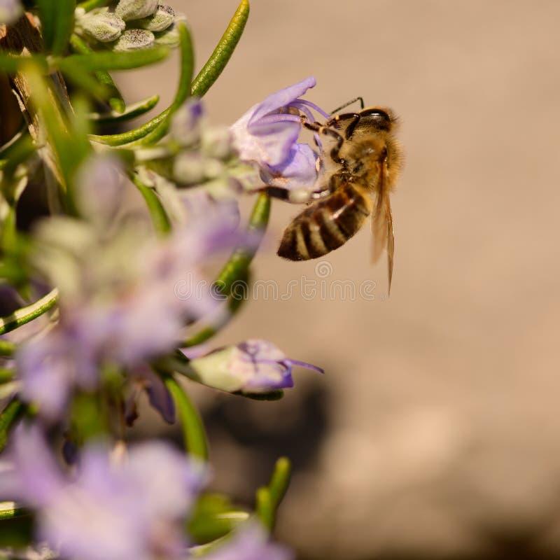 Pszczo?y, miodowa pszczo?a ssa nektar i polinating na rozmarynach, Rosmarin kwiat, Rosmarinus officinalis z sw?j pi?knym bzem, zdjęcie stock