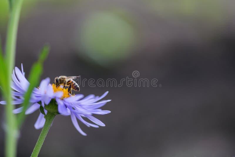 Pszczo?y obsiadanie na cebulkowym kwiacie w ogr?dzie zdjęcia royalty free