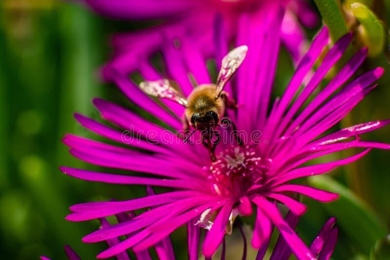 Pszczo?y zbieracki pollen na po?udnie kwiacie zdjęcia stock