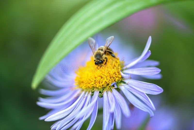 Pszczo?a zbiera nektar na purpurowym kwiacie fotografia royalty free