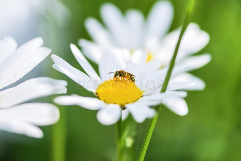 Pszczo?a zbiera nektar na purpurowym kwiacie Prawy miejsce pod reklamowym podpisem obraz stock