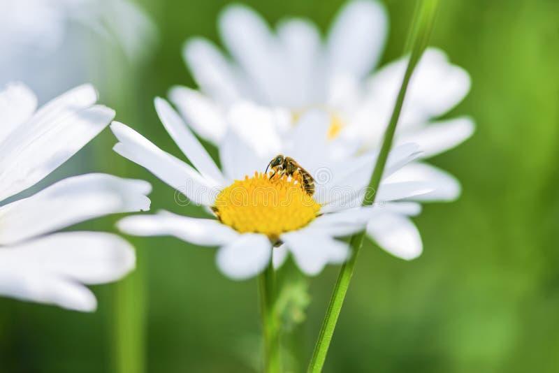 Pszczo?a zbiera nektar na purpurowym kwiacie Prawy miejsce pod reklamowym podpisem zdjęcia stock