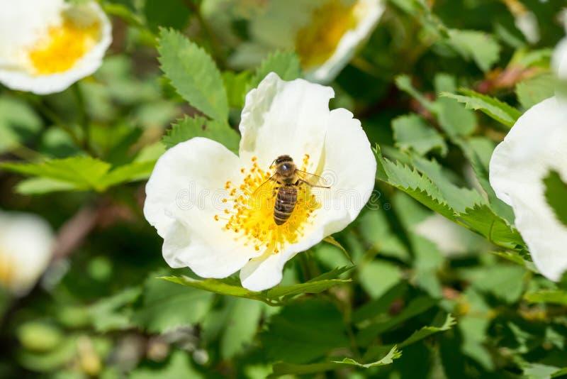 Pszczo?a zbiera nektar od czu?ego bia?ego ?wie?ego r??anego modnego kwiatu fotografia stock