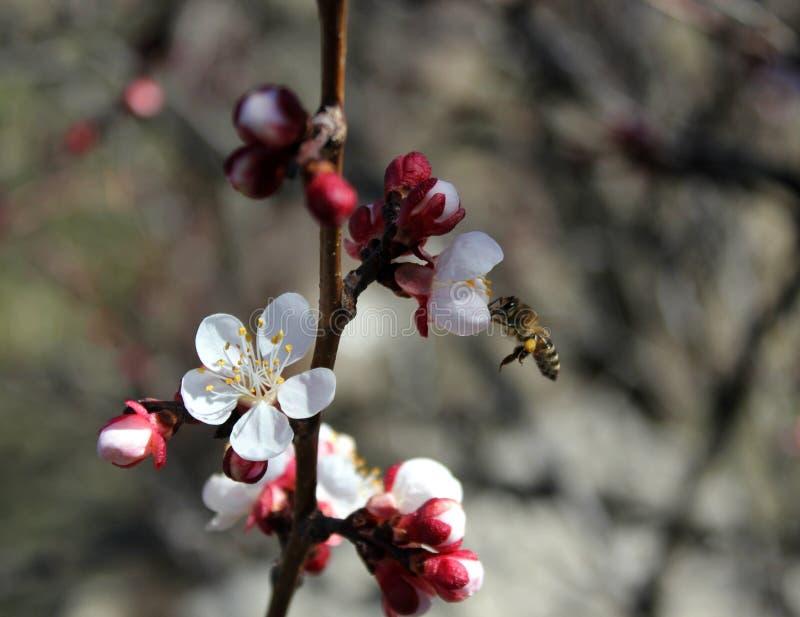 Pszczo?a zbiera nektar od morelowych kwiat?w, ?liwka kwitnie w wio?nie z r??owymi p?atkami i p?atkiem jaskrawym czerwie? kwiat?w, zdjęcie stock