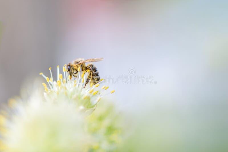 Pszczo?a zbiera pollen na bia?ym kwiacie linii brzegowej zielonej horyzontalnej wizerunku fotografii Sardinia denna nieba ro?linn obraz stock