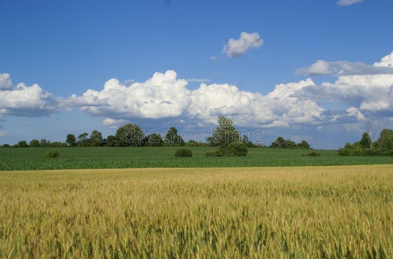 pszenica błękitne niebo. zdjęcie royalty free