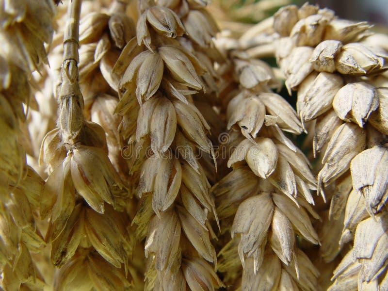 Pszenica Chlebowa Obrazy Stock