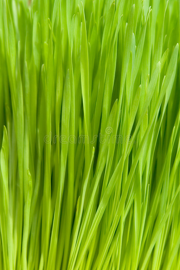pszenica trawy zdjęcie stock
