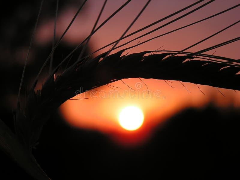 pszenica, zachód słońca zdjęcia royalty free