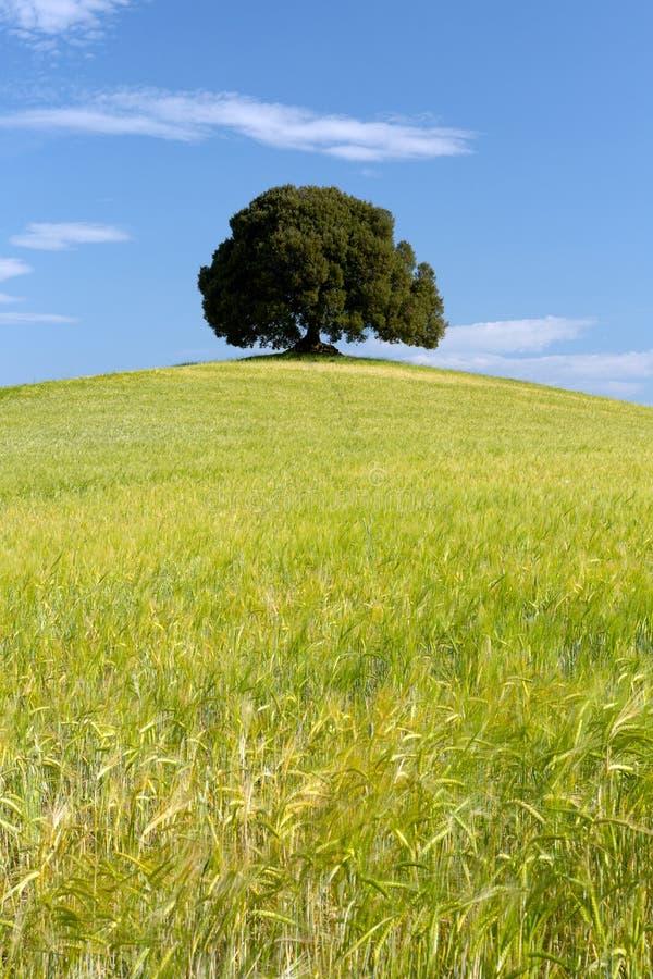 Pszeniczne kruszec i pojedynczy drzewo fotografia royalty free