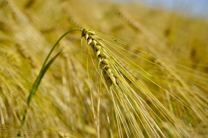 Pszenicznego pola wheatear adra fotografia royalty free