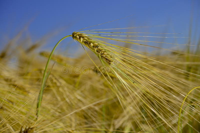 Pszenicznego pola wheatear adra zdjęcia stock
