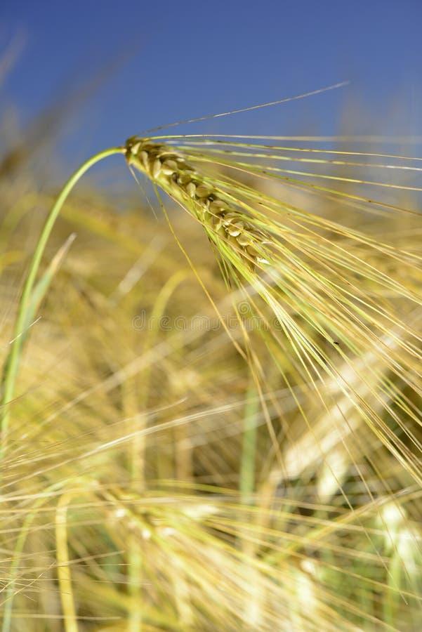 Pszenicznego pola wheatear adra obrazy stock
