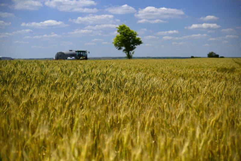 Pszenicznego pola wheatear adra obrazy royalty free