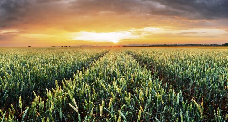 Pszenicznego pola zielonej trawy krajobrazu zmierzch zdjęcie royalty free