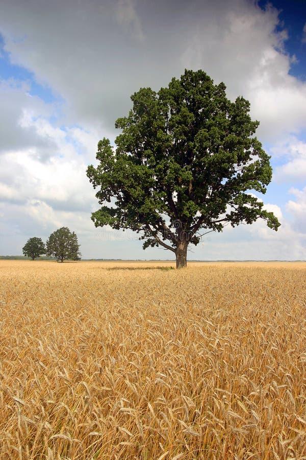 pszeniczni śródpolni drzewa zdjęcie royalty free