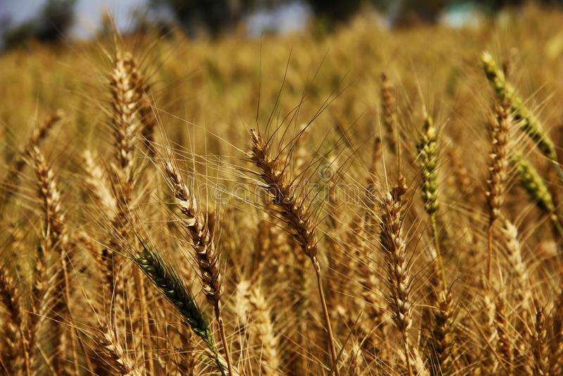 pszeniczni ucho na złota pola tle ?niwo, rolnictwo, agronomics, jedzenie, produkcja, eco poj?cie obraz royalty free
