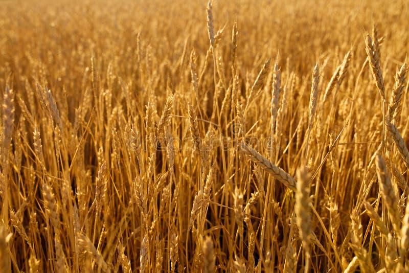 Pszeniczni ucho przy rolnym polem, płytka głębia pole śródpolna złota dojrzała banatka Bogaty żniwo i rolniczy temat obraz stock