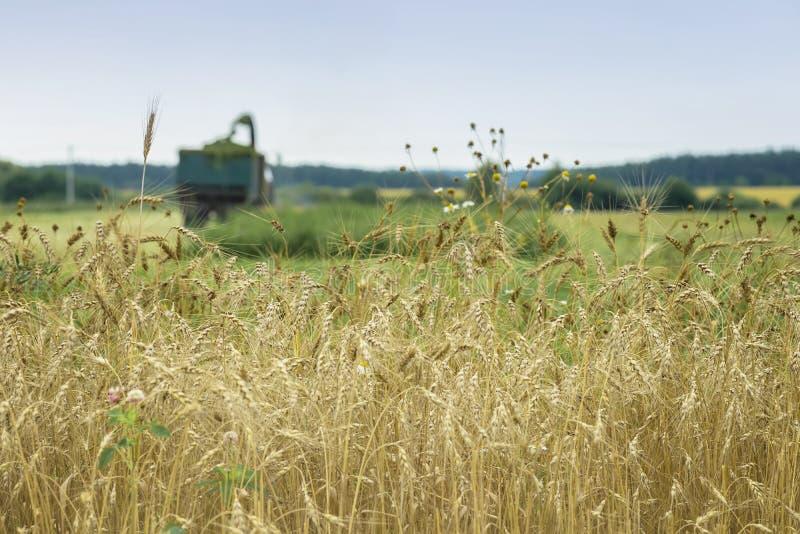 Pszeniczny pole, dojrzały jęczmień, żyta pole, słoneczny dzień, pracujący syndykata żniwiarz, zbiera pszenicznego zboża w gospoda obraz stock