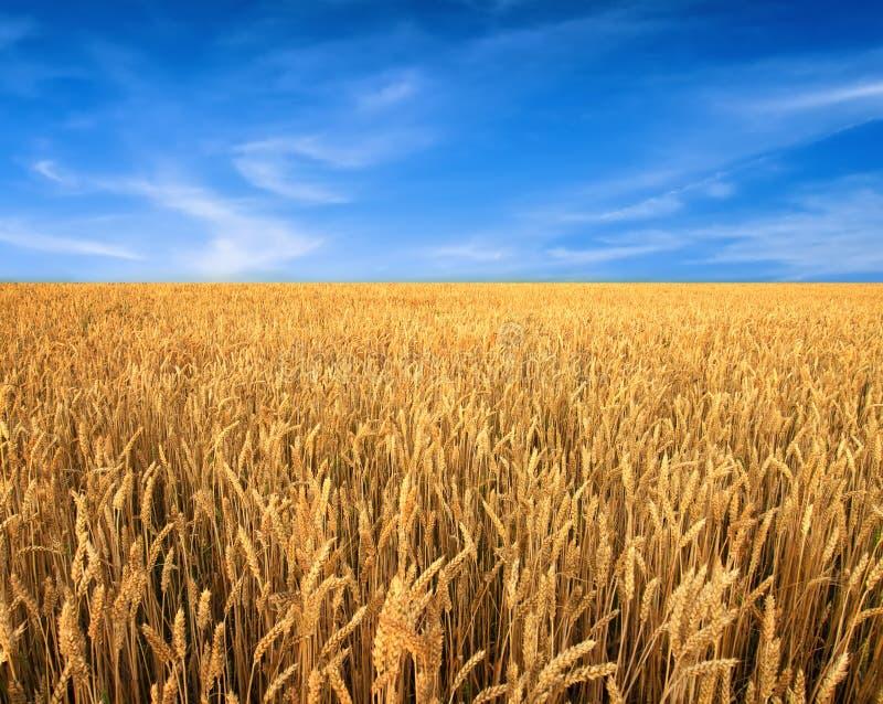 Pszeniczny pole i niebieskie niebo jako tło zdjęcia royalty free
