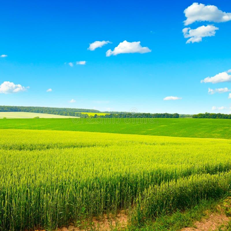 Pszeniczny pole i niebo obrazy royalty free