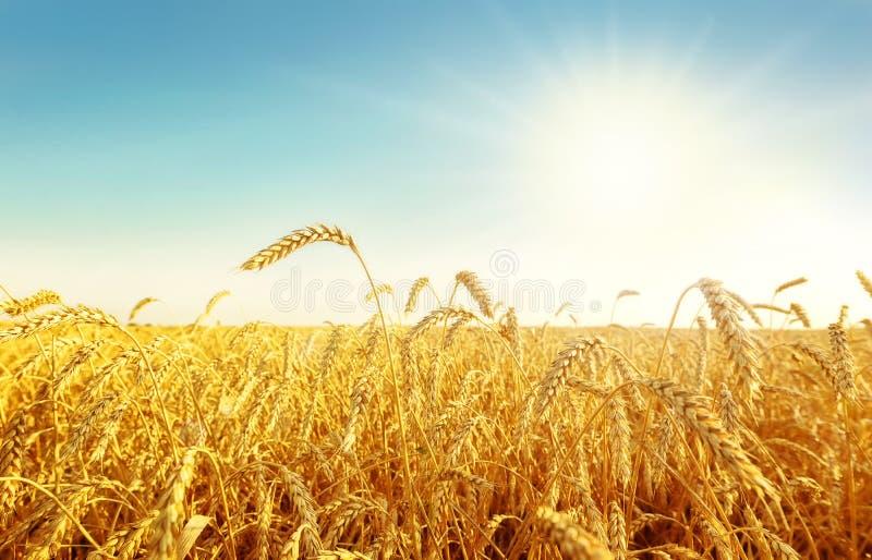 pszeniczny pole i słońce obrazy royalty free