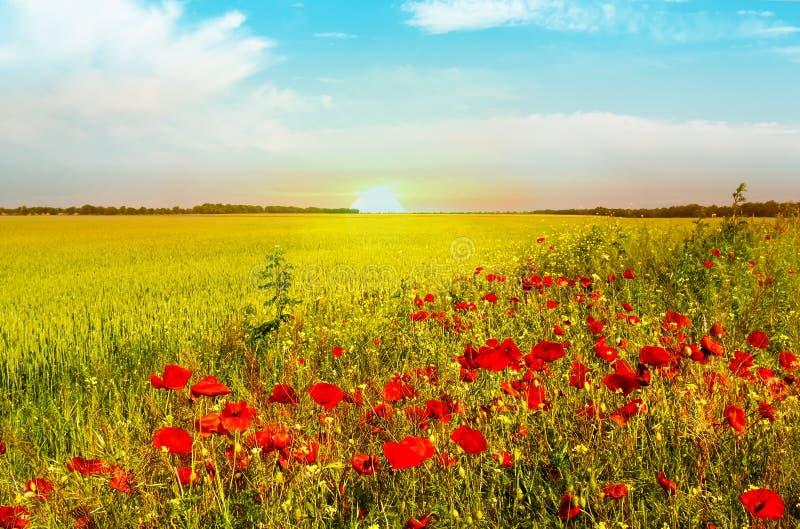 Pszeniczny pole jaskrawy czerwony maczek kwitnie w lecie obrazy royalty free