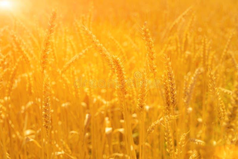 Pszeniczny pole na słońcu zdjęcia royalty free