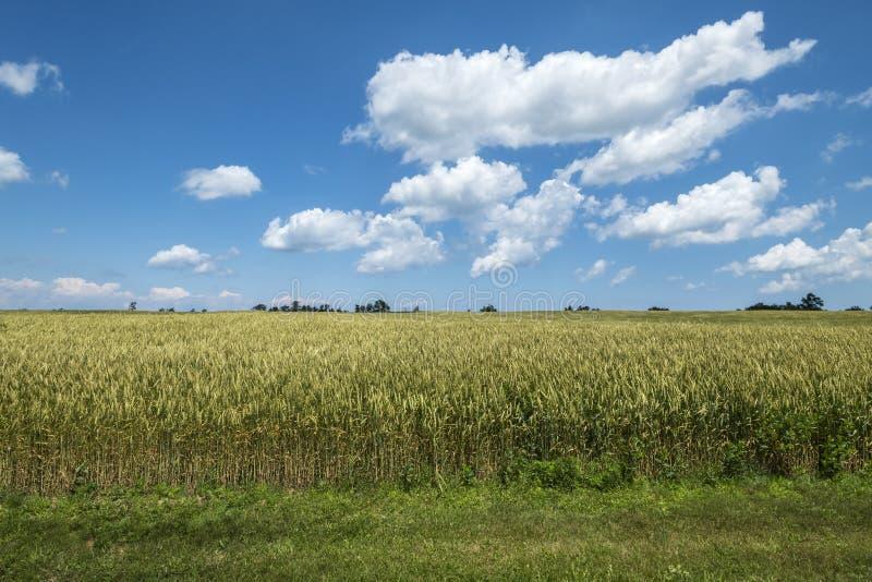 Pszeniczny pole na słonecznym dniu Z niebieskiego nieba i bielu chmurami 6 zdjęcia royalty free
