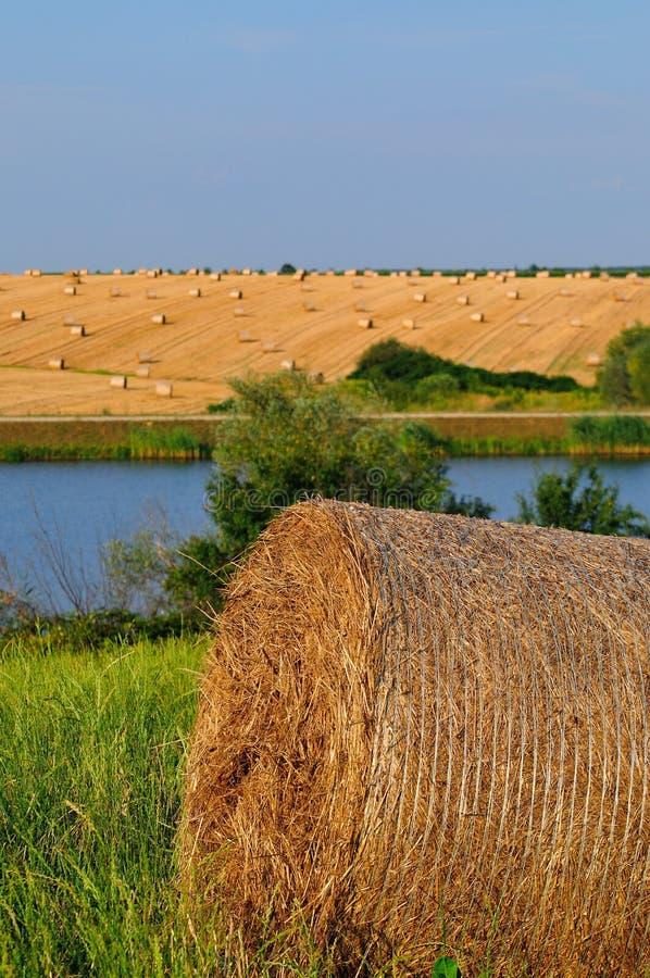 Pszeniczny pole obok jeziora zdjęcia royalty free