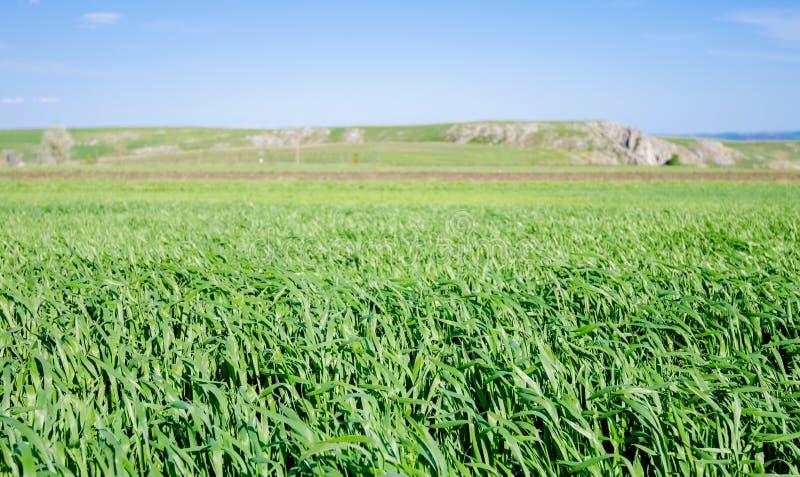 Pszeniczny pole podczas wiosny fotografia stock