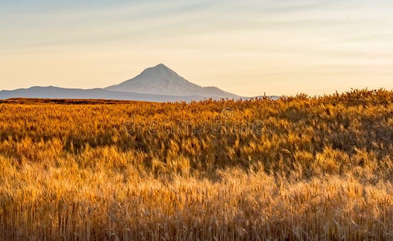 Pszeniczny pole Przygotowywający Zbierać w Środkowym Oregon obraz stock