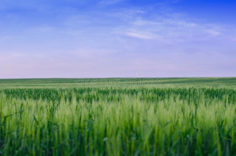 Pszeniczny pole, Ukraina obrazy royalty free