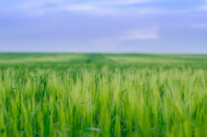 Pszeniczny pole, Ukraina zdjęcie royalty free