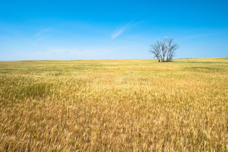 Pszeniczny pole, uprawy, Uprawia ziemię, rolnictwo obrazy stock