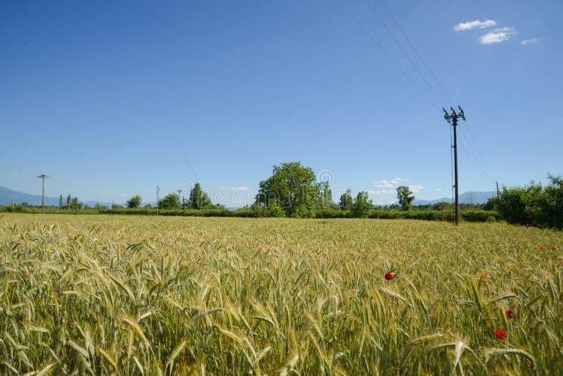 Pszeniczny pole w Macedonia obrazy stock