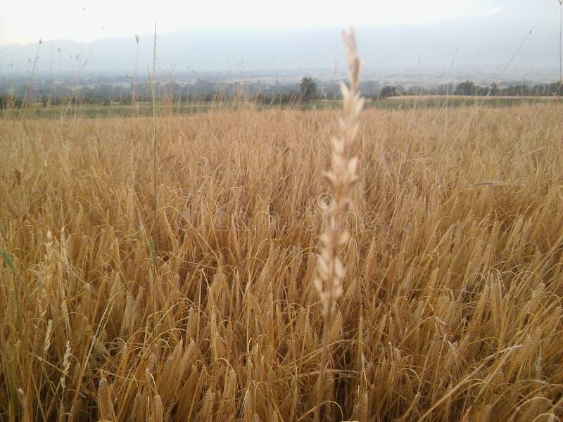 Pszeniczny pole w Macedonia zdjęcie royalty free