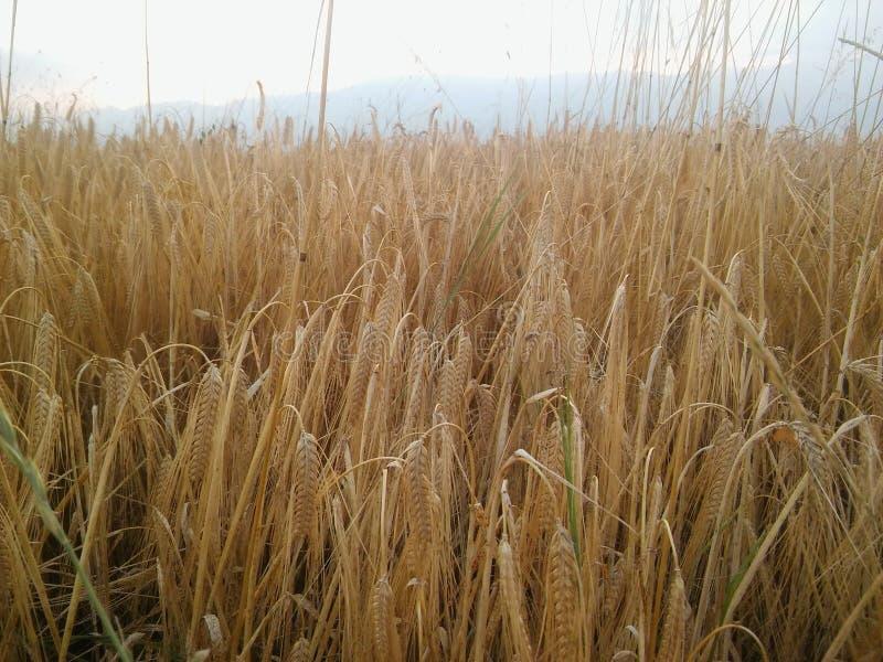 Pszeniczny pole w Macedonia zdjęcia stock