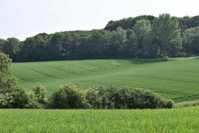 Pszeniczny pole w wio?nie, pi?knym krajobrazie, zielonej trawie i niebieskim niebie, Niemcy obrazy royalty free