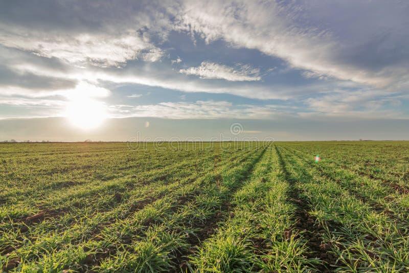 Pszeniczny sadzonkowy dorośnięcie w polu Potomstwa zielenieją pszenicznego dorośnięcie obraz royalty free