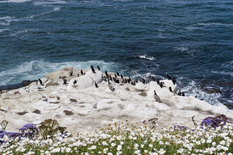 ptaków Brandt kormoranu pelikanów skały s obrazy royalty free