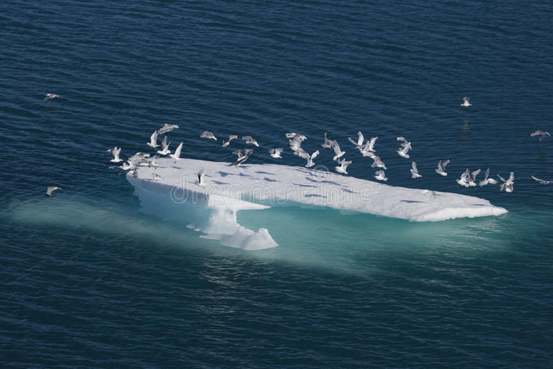 ptaków floe lodu morze obraz stock